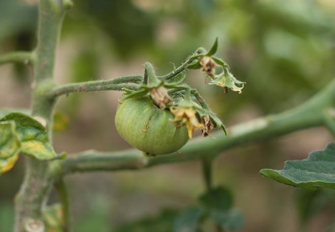 primer tomate